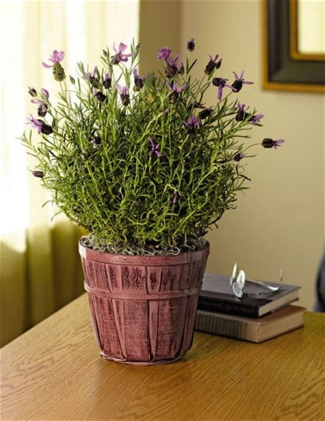 lavender care lavender plant care and how to grow on pinterest