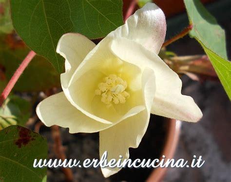 fiori cotone erbe in cucina fiore di cotone