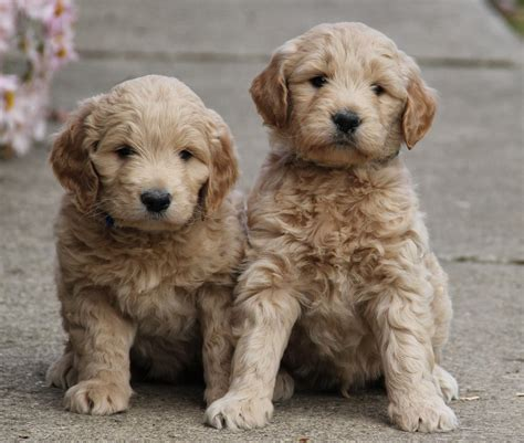 goldendoodle puppy new yesteryear acres doodle days puppies