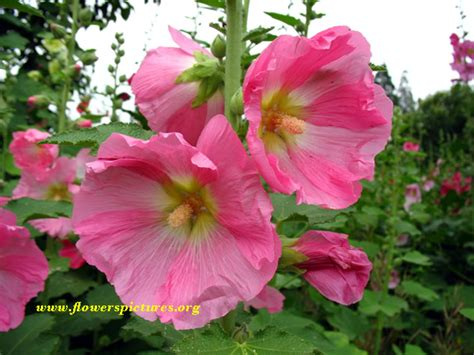 flower images hollyhock flower pictures pictures of hollyhock flowers