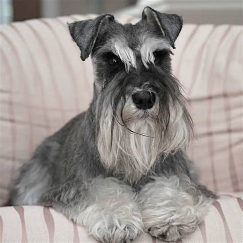 pictures miniature schnauzer with long hair 70 adorable miniature schnauzer dog images