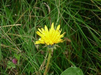 dandelion facts british wildlife facts dandelion let s go britain