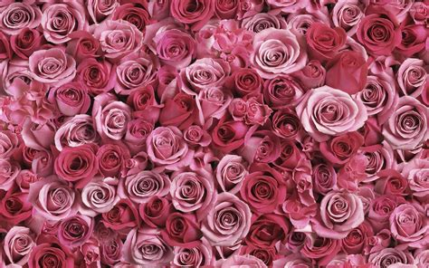 roses wallpapers pink roses wallpapers 183