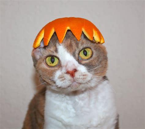 cat in hat image gallery orange peel cat