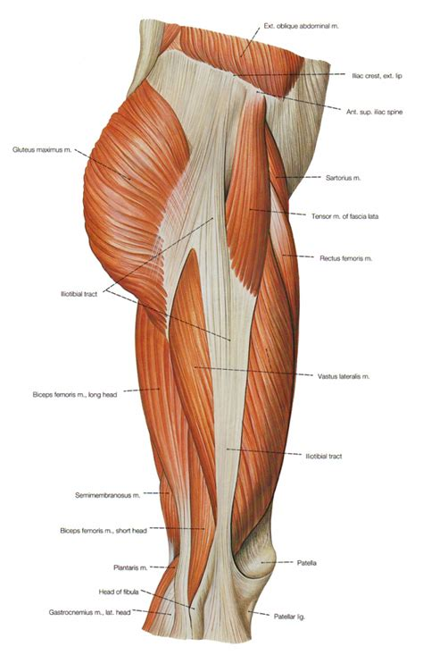leg muscles diagram leg muscles anatomy human anatomy diagram
