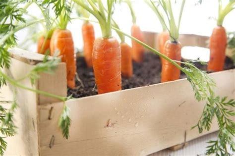 coltivare carote in vaso coltivare carote coltivare orto come coltivare le carote