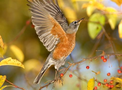 bird sounds and songs of the american robin the old