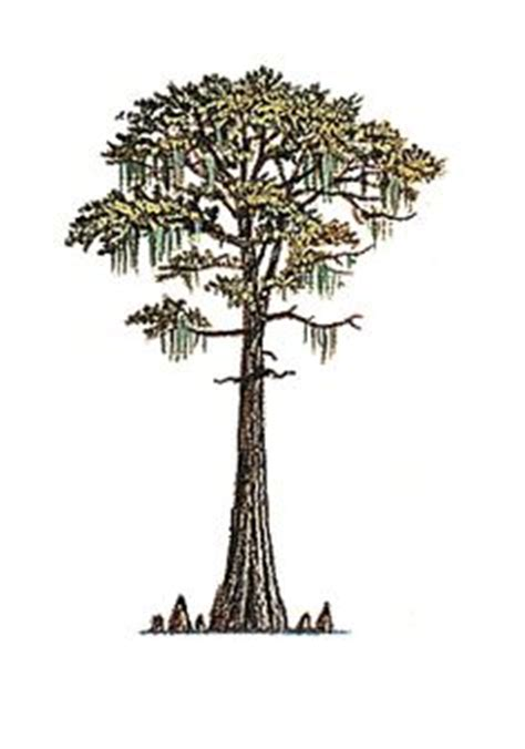 cypress tree tattoo designs tattoos on tree tattoos trees and cypress trees
