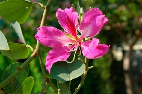 ricanti fioriti resistenti al freddo bauhinia arbusto fiorito poco resistente al freddo