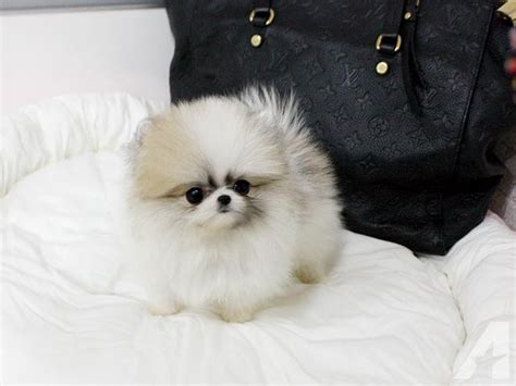 micro teacup pomeranian for sale uk pomeranian teacup puppies for sale uk breeds picture