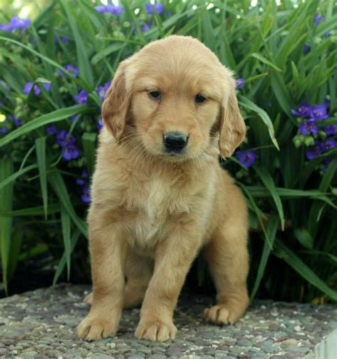 golden retriever puppies for sale in eastern nc energetic golden retriever puppies craigspets