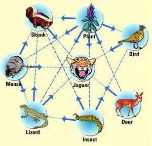 Food Web Of A Jaguar Temperate Forest Food Chain And Food Web Temperate Forest