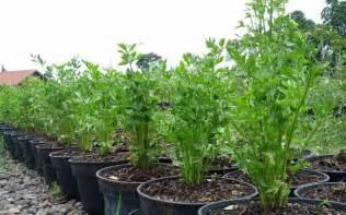 Kecambah Jagung Pakan Ternak cara menanam budidaya seledri media pot polybag di teras