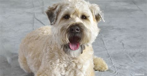 soft haired wheaten terrier puppy the soft coated wheaten terrier
