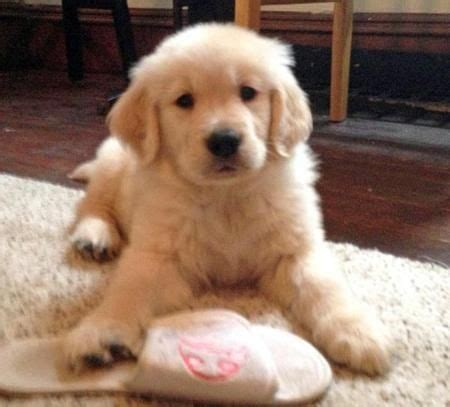 i want a golden retriever puppy 17 best ideas about cyber on times call cat memes clean and pictures