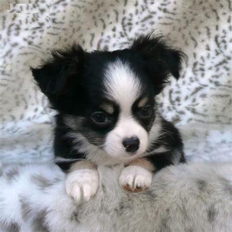 honden pups advertenties honden pups te koop vinden of dieren schattige chihuahua puppies te koop zoekertjes net