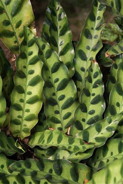 Calathea Lancifolia Insignis Rattlesnake Plant calathea lancifolia rattlesnake syn calathea insignis rattlesnake plant plants