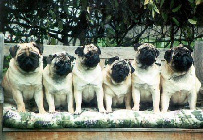 frisco pugs ncpc pug of the month