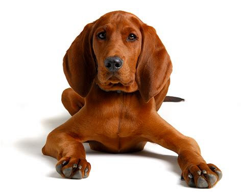 redbone puppy everything about your redbone coonhound my dogs