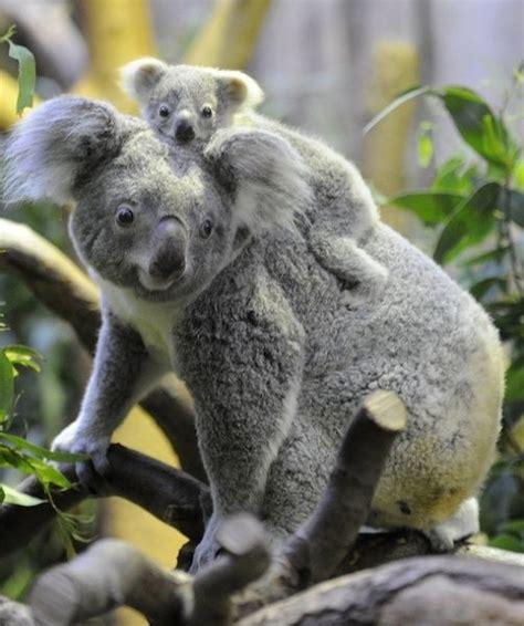 female koala pouch baby koala koalas and a button on pinterest