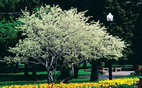 jardin jasmin amelanchier canadensis