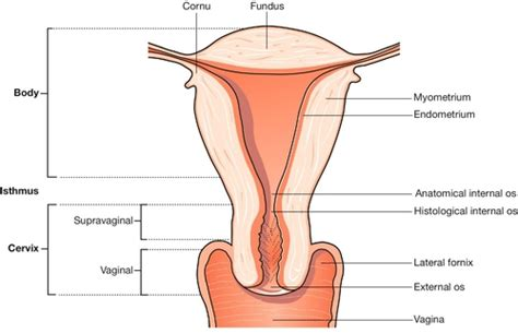 sections of the uterus clinical pelvic anatomy obgyn key