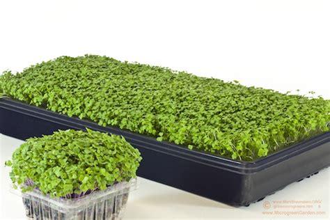 homegrown microgreens small  mighty  easy  grow