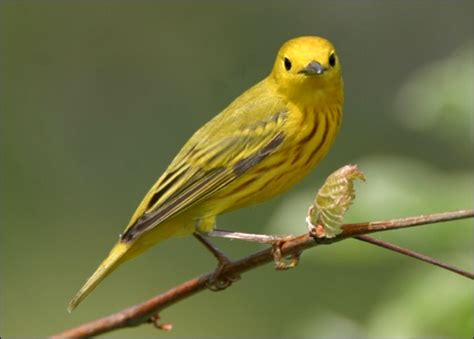 yellow warbler dendroica petechia bird spotting true to