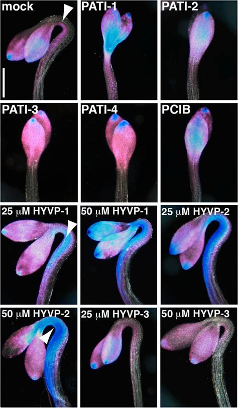 vein pattern formation novel vein patterns in arabidopsis induced by small