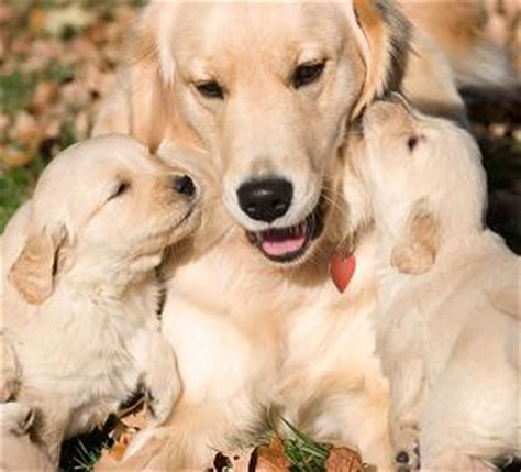 how to take care of golden retriever puppies how to take care of a brand new puppy