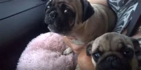 pug freaking out pugs freak out when leaves the car and scream