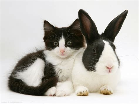 black dutch rabbit with black and white kitten   cats and