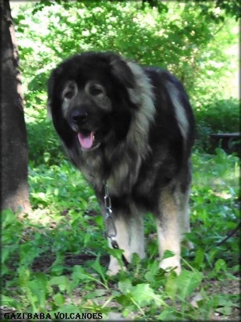 yugoslavian shepherd dog sarplaninac