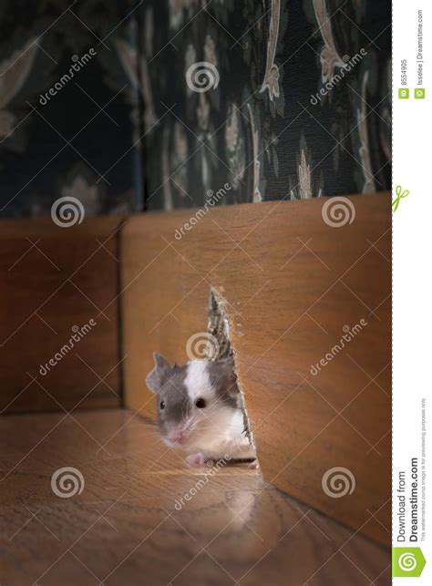 How To Get Mouse Out Of Room by Mouse Royalty Free Stock Photo Image 8554905