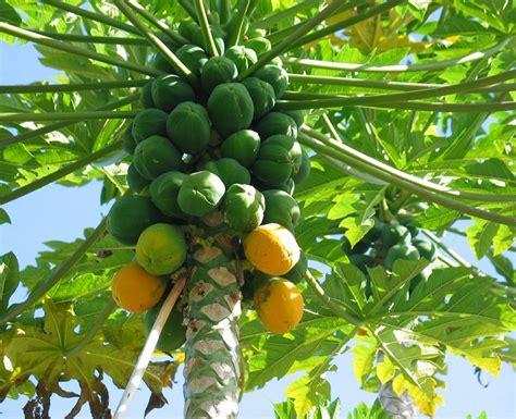 Papaya Garden by How To Grow Papaya Growing Papaya Tree And Care