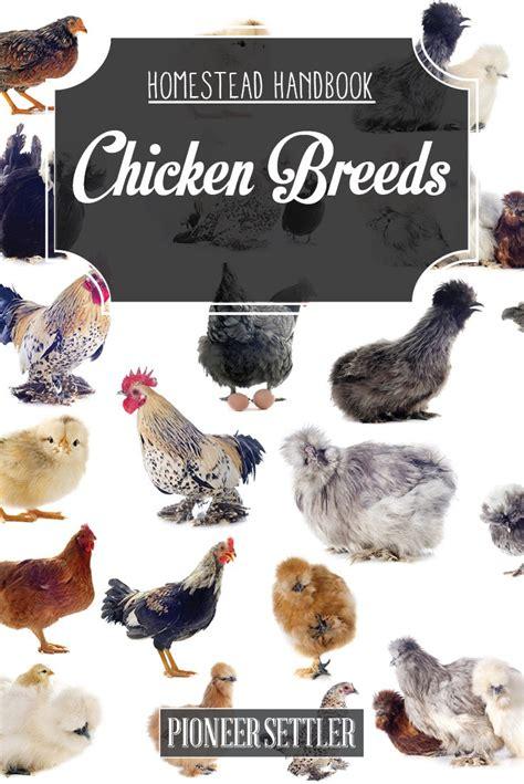 best backyard chicken breeds raising backyard chickens chicken breeds