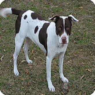 rottweiler pointer mix williston fl german shorthaired pointer rottweiler mix meet dixie a for adoption