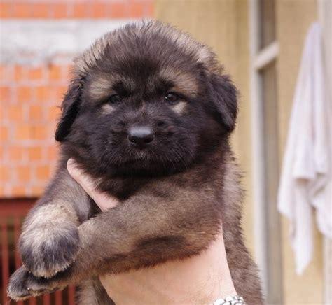 sarplaninac puppy pin by dogs on šarplaninac