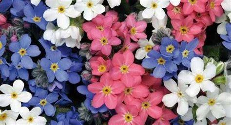 imagenes flores no me olvides myosotis sylvatica o nomeolvides cuidados y cultivo