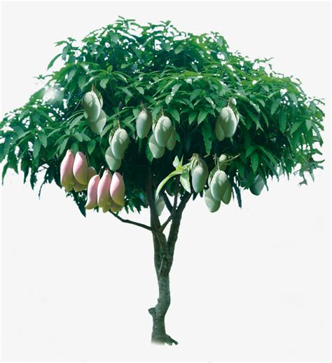 Cute Plant by Fruitful Mango Tree Fruitful Rich Yield Health Png And