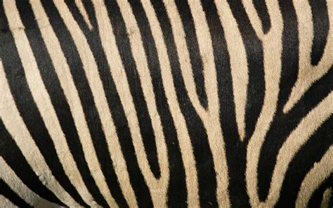 what color are zebra stripes zebra backgrounds wallpaper 160634