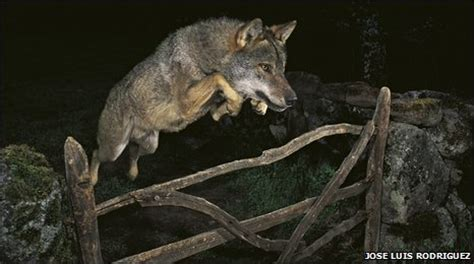 bbc news jumping wolf photographer loses wildlife prize
