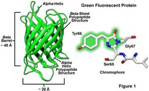 Zeiss microscopy online campus introduction to fluorescent proteins