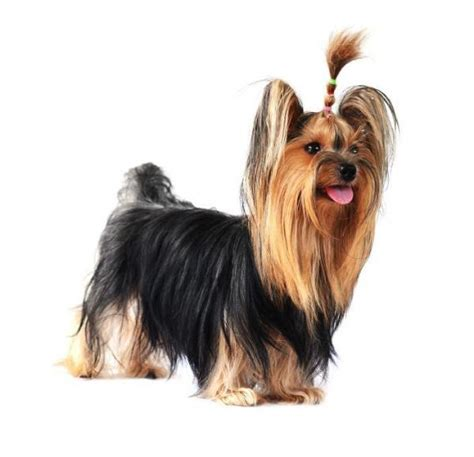corte pelo yorkshire terrier 10 haircuts for a yorkshire terrier