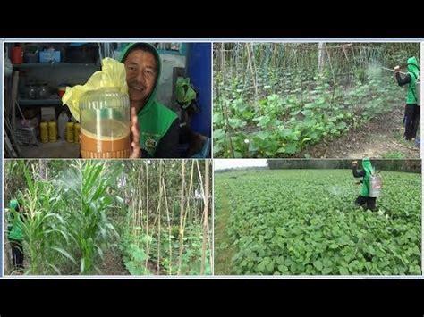 Kacang Hijau Organik pemupukan timun jagung tomat dan kacang hijau organik