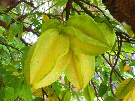 carambola fruit tree fruit