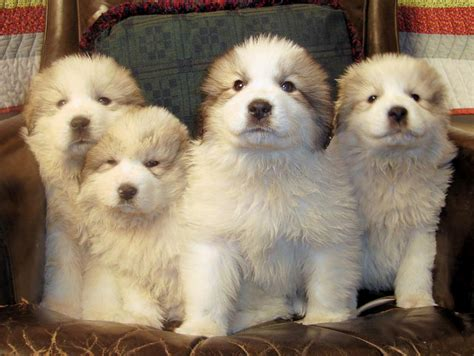 grand pyrenees puppies puppies pictures and information