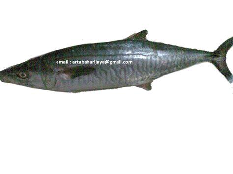Ikan Kerapu Mulut Tikus Beku ikan expor ikan tenggiri