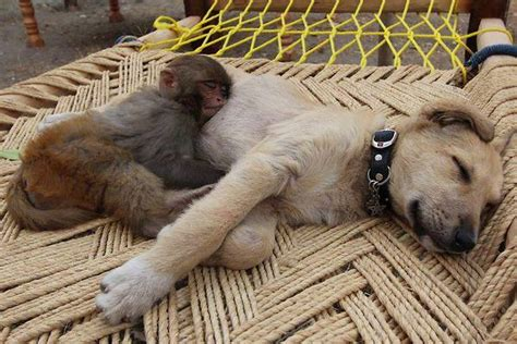 monkey and puppy and monkey sleeping together rumble