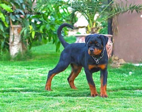 rottweiler reason 13 reasons not to get a rottweiler